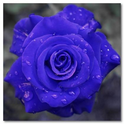 Αφίσα (τριαντάφυλλο, φυτό, λουλούδι, μπλε)